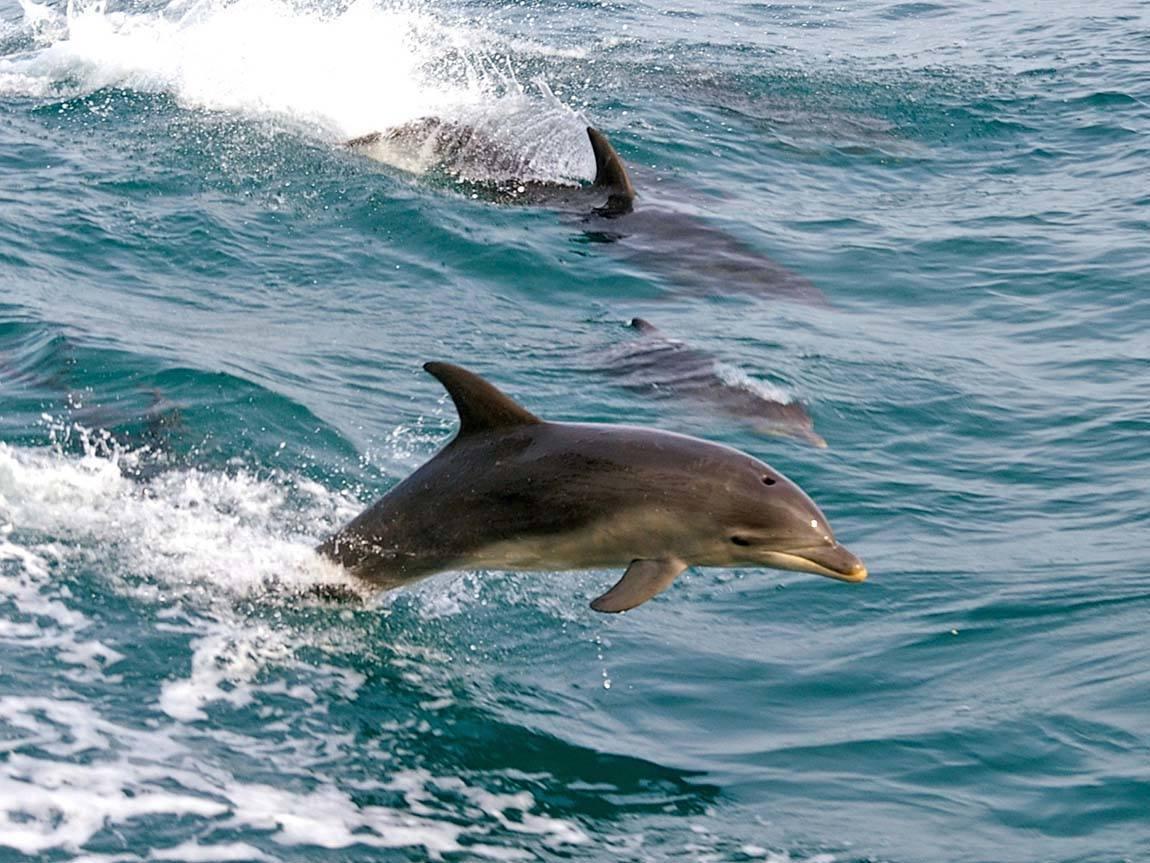 dolphins-port-phillip_mp_u_1380048_1150x863